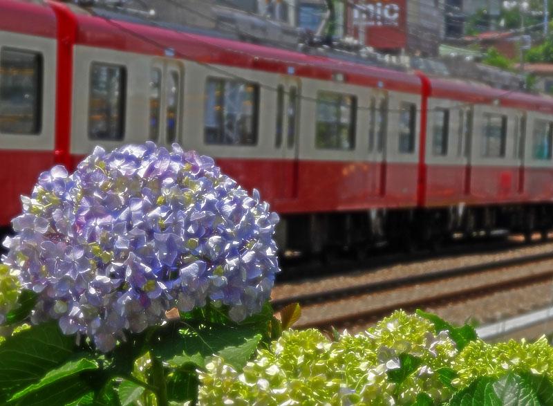 130604紫陽花とバス、電車2