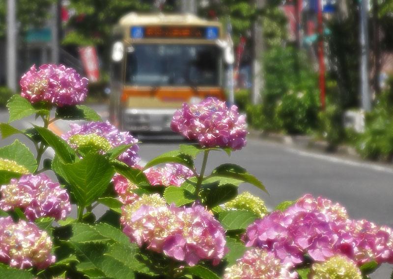 130604紫陽花とバス、電車1