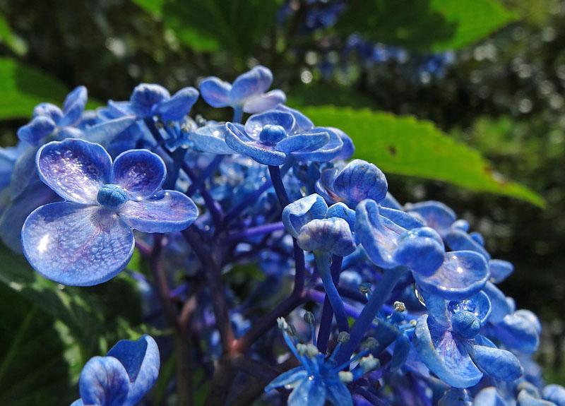 130616雨上がりの紫陽花2