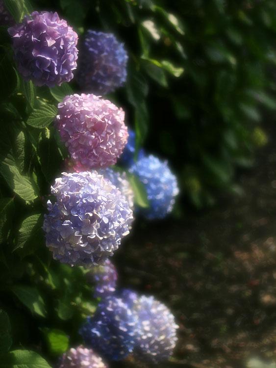 130616雨上がりの紫陽花4