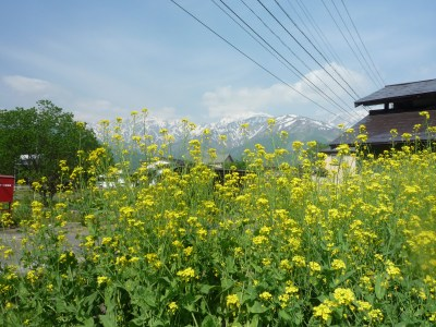 s-菜の花と白馬八方尾根、P1040747