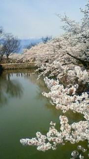 松本城と桜②