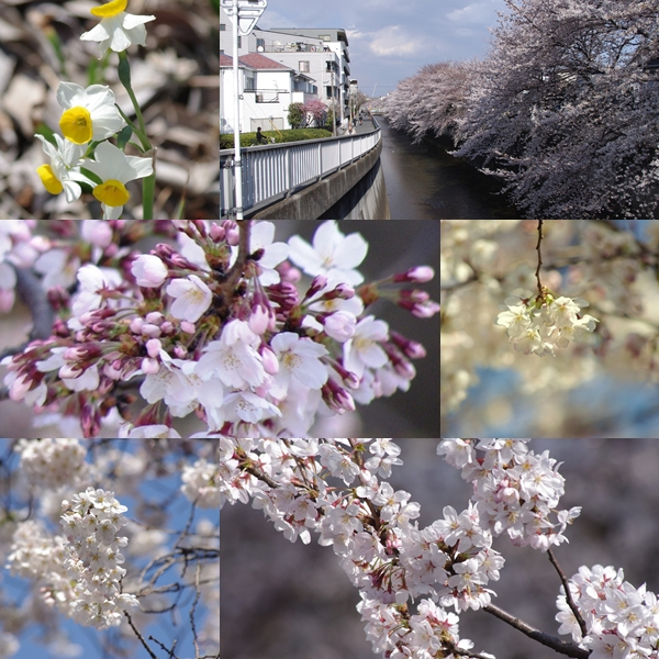 氷川台の桜