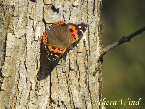 11月の蝶②
