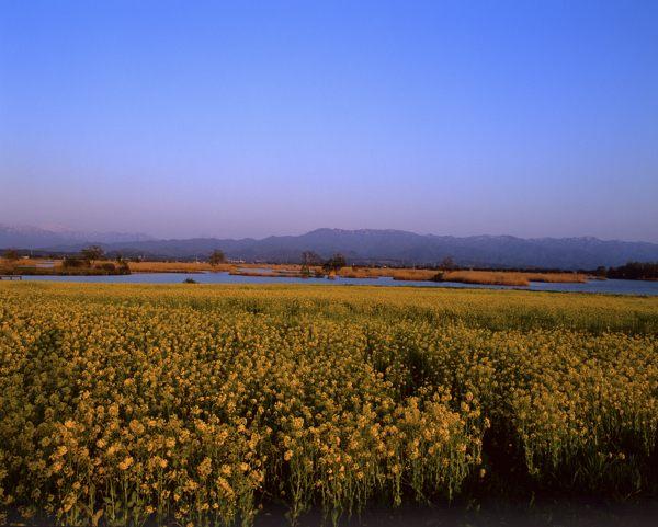 福島潟菜の花夕景