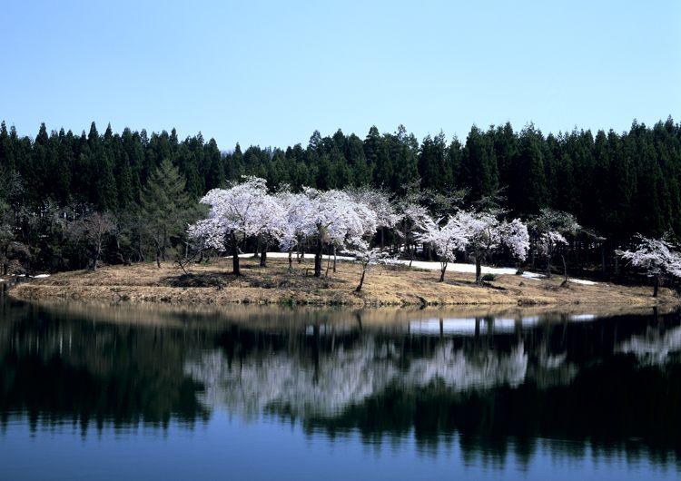 中子の桜2