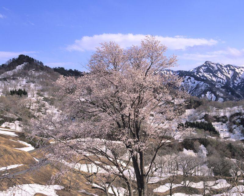 2006-5-2峠桜2