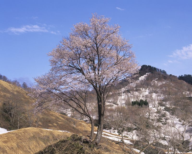 2006-5-2峠桜3