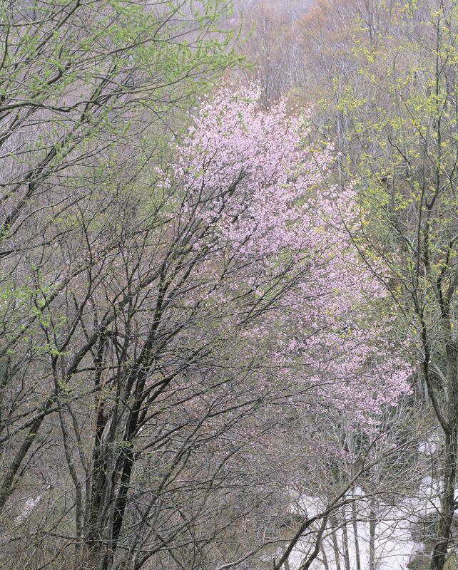 2006-5-2小国桜