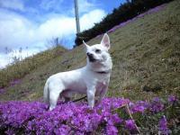迷い犬白チワワ