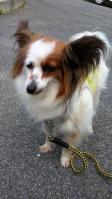 迷い犬パピヨン♀中央体育館付近