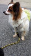 パピヨン迷い犬♀