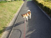 メメちゃん 散歩