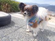 迷い犬パピヨン2012.3.24
