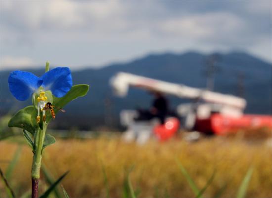 2014稲刈りと花 089