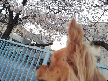チョロと桜