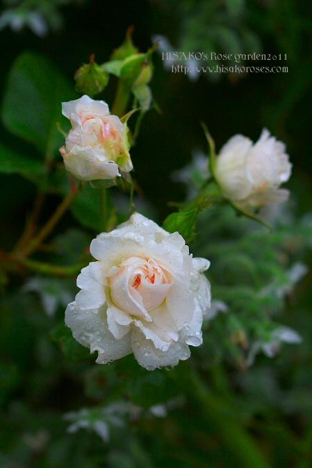 ブノワ。さんのバラ
