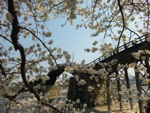岩国 錦帯橋と桜/Iwakuni Kintaikyo bridge with cherry blossom