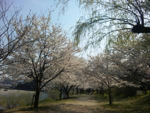 岩国 桜並木/Iwakuni row of cherry trees