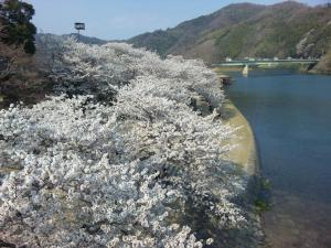 岩国 錦帯橋から見た桜並木/Iwakuni the row of cherry trees from Kintaikyo bridge