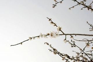 s-梅の花