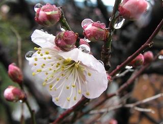 s-雨に濡れる桜