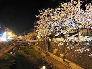 s-玉造温泉 夜桜