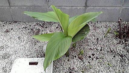 不明 植物