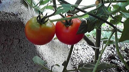 トマトそろそろ718