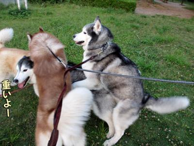 トリュフとパルクちゃんに乗られるポトフ