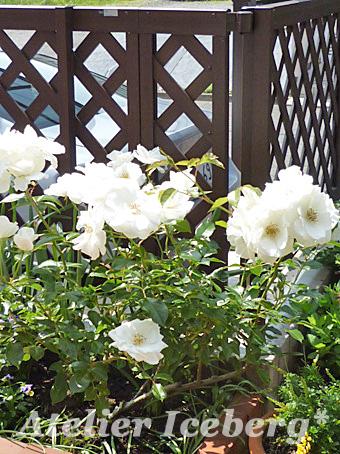 rose2013_004.jpg