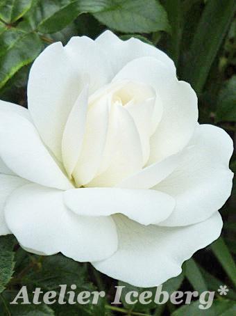 rose2013_012.jpg