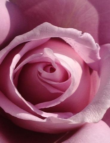rose2013_02.jpg