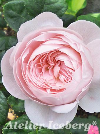 rose2013_101.jpg
