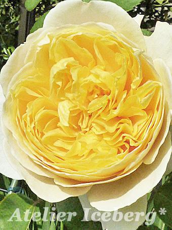 rose2013_13.jpg
