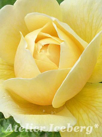 rose2013_18.jpg