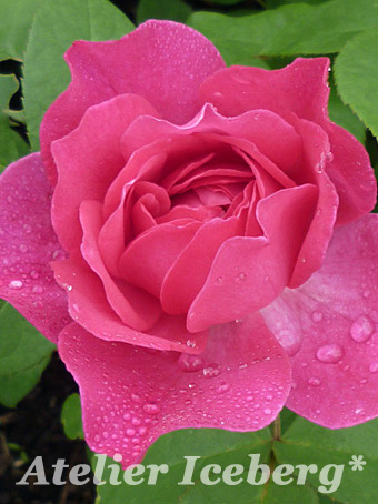 tokachi_rose_01.jpg