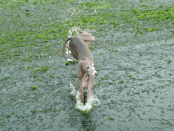 ワカメが足に引っ掛かるので、飛び跳ねながら進むトト