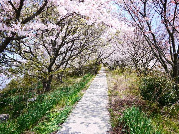 真っ直ぐ行けば、日蓮上人の像があるんだけど、桜に埋もれて見えなかった