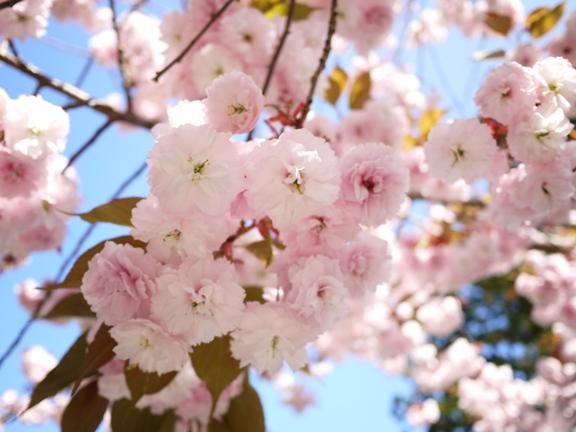 八重桜・・でしょうか??