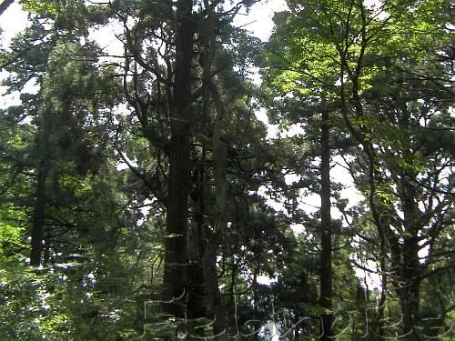 葛木神社の杉の林