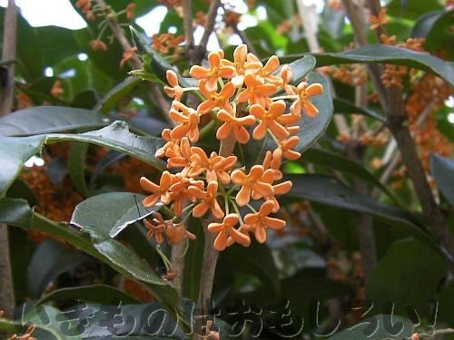 キンモクセイの花[長居植物園]
