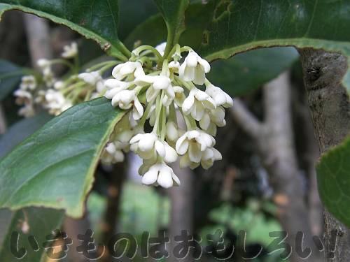 ギンモクセイの花[長居植物園]