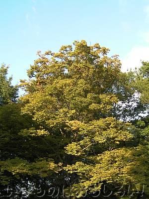 きれいに黄葉している近所のケヤキ