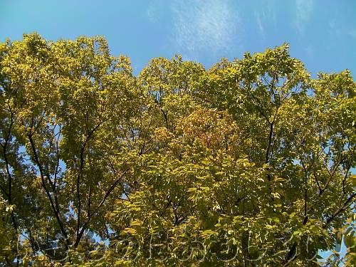 きれいに黄葉している近所の大きなケヤキ