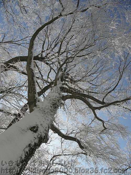 空を覆うブナの巨木