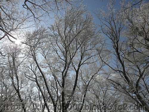 霧氷には青空と逆光が勝利
