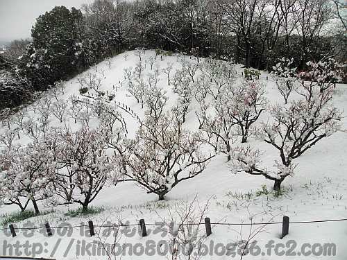 雪の錦織公園梅園