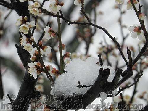 早咲きの冬至梅