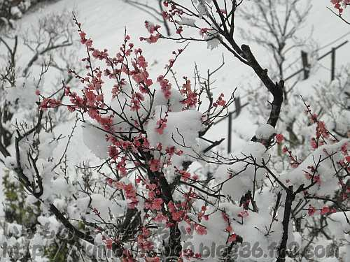 早咲きの紅梅(八重寒紅?)